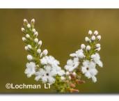 Leucopogon cucullatus LLK-479 © Jiri Lochman LT