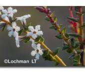 Leucopogon glabellus Leucopogon ACD-497  © Marie Lochman LT