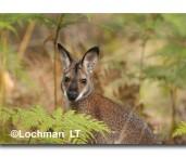 Red-necked Wallaby AED-180 ©Marie Lochman- Lochman LT