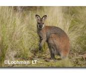 Red-necked Wallaby LLK-925 ©Jiri Lochman - Lochman LT