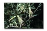 Styphelia triflora Five Corners HG-984 ©Hans & Judy Beste-  Lochman LT