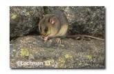 Mountain Pygmy Possum AL-679 ©Marie Lochman - Lochman LT