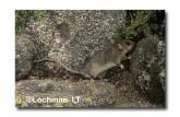 Mountain Pygmy Possum XM-593 ©Jiri Lochman-  Lochman LT