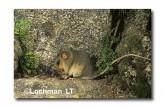 Mountain Pygmy Possum XM-600 ©Jiri Lochman-  Lochman LT