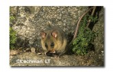 Mountain Pygmy Possum XM-604 ©Jiri Lochman-  Lochman LT