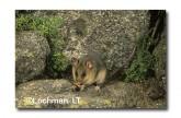 Mountain Pygmy Possum XM-606 ©Jiri Lochman - Lochman LT