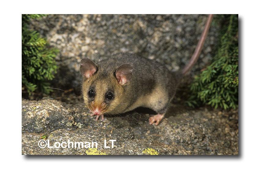 Mountain Pygmy-possum
