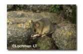 Mountain Pygmy Possum XM-627 ©Jiri Lochman - Lochman LT