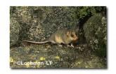 Mountain Pygmy Possum XM-643 ©Jiri Lochman-  Lochman LT