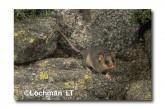 Mountain Pygmy Possum XM-644 ©Jiri Lochman - Lochman LT