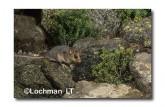 Mountain Pygmy Possum XM-645 ©Jiri Lochman - Lochman LT