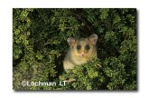 Mountain Pygmy Possum XM-693 © Jiri Lochman Transparencies