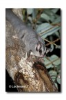 Sugar Glider LLD-397 © Lochman Transparencies copy copy