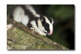 Striped Possum LLE-202 © Lochman Transparencies
