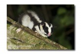 Striped Possum LLE-203 © Lochman Transparencies