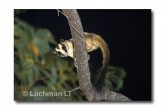 Striped Possum LLE-210 © Lochman Transparencies