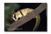 Striped Possum LLE-213 © Lochman Transparencies