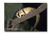 Striped Possum LLE-214 © Lochman Transparencies