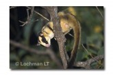 Striped Possum LLE-215 © Lochman Transparencies