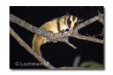 Striped Possum LLE-217a © Lochman Transparencies