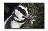 Striped Possum QB-040 ©Stanley Breeden- Lochman LT