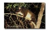 Western Ringtail Possum PG-405 ©Jiri Lochman- Lochman LT