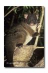 Western Ringtail Possum PG-411 ©Jiri Lochman- Lochman LT