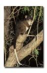 Western Ringtail Possum PGY-424 ©Jiri Lochman- Lochman LT