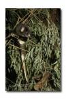 Western Ringtail Possum XX-622 ©Jiri Lochman LT