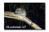 Brush-tailed Rabbit Rat- Pakoona HAY-957 ©Hans & Judy Beste- Lochman LT