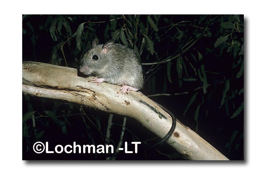 Brush-tailed Rabbit Rat