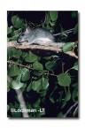 Conilurus penicillatus-Brush-tailed Rabbit Rat XXY-458 ©Jiri Lochman- Lochman LT