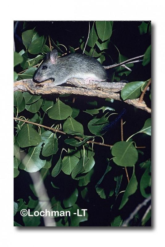Brush-tailed Rabbit-rat