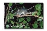 Conilurus penicillatus-Brush-tailed Rabbit Rat XXY-459 ©Jiri Lochman- Lochman LT