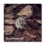 Leggadina forresti-Central Short-tailed Mouse HB-934 ©Hans & Judy Beste- Lochman LT