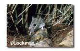 Leggadina forresti-Central Short-tailed Mouse HJ-800 ©Hans & Judy Beste- Lochman LT