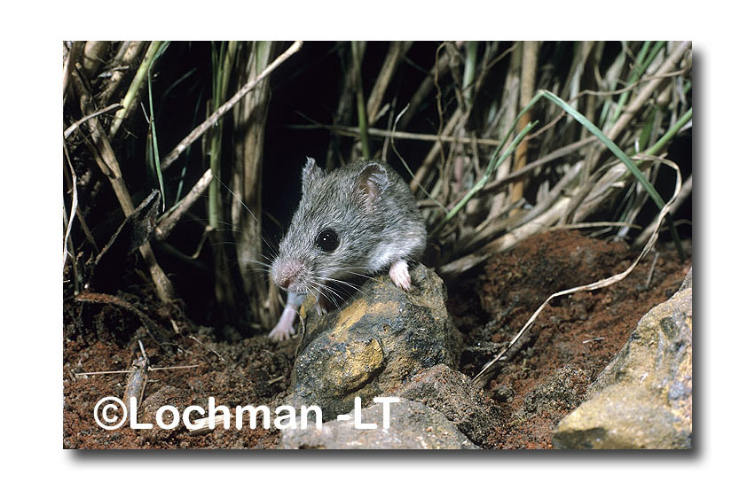 Central Short-tailed Mouse