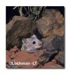 Leggadina lakedownensis- Northern Short-tailed Mouse HB-939 ©Hans & Judy Beste- Lochman LT