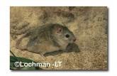 Leggadina lakedownensis- Northern Short-tailed Mouse  ZRY-431 ©Jiri Lochman- Lochman LT