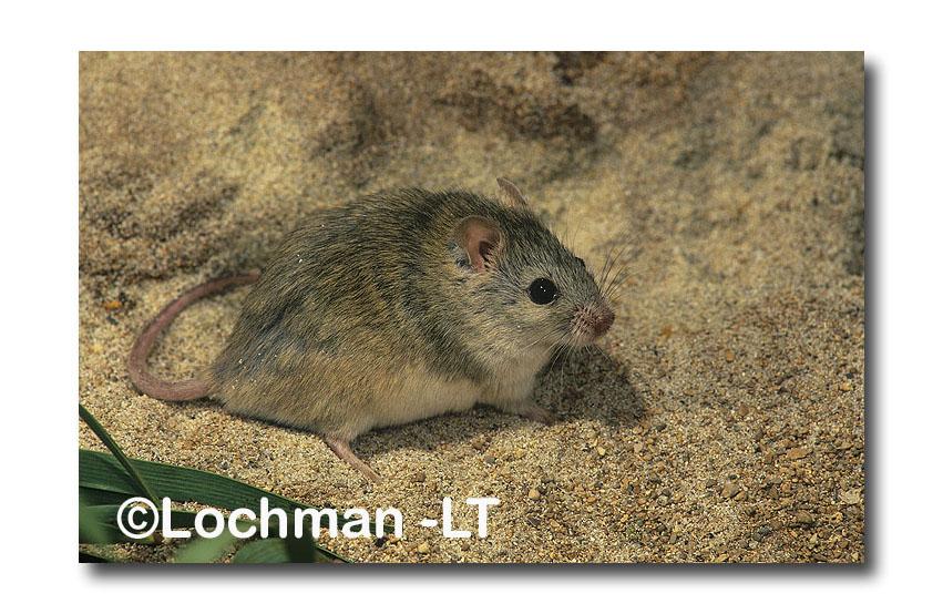 Northern Short-tailed Mouse