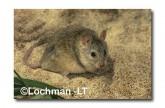 Leggadina lakedownensis- Northern Short-tailed Mouse  ZRY-436 ©Jiri Lochman- Lochman LT