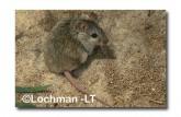 Leggadina lakedownensis- Northern Short-tailed Mouse  ZRY-437 ©Jiri Lochman- Lochman LT