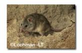 Leggadina lakedownensis- Northern Short-tailed Mouse  ZRY-441 ©Jiri Lochman- Lochman LT