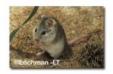 Leggadina lakedownensis- Northern Short-tailed Mouse  ZRY-447 ©Jiri Lochman- Lochman LT