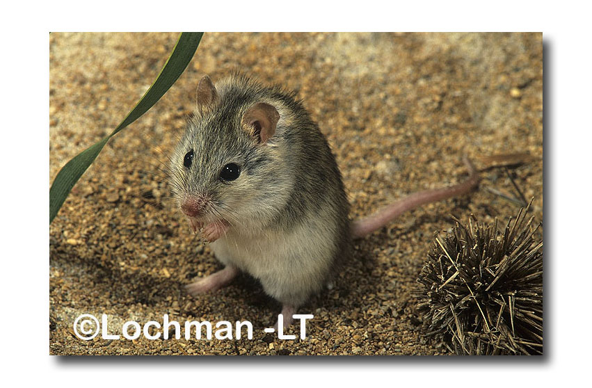 Northern Short Tailed Mouse Lochman Transparencies