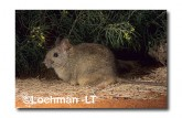 Leporillus conditor-Greater Stick-nest Rat  PGY-445 ©Jiri Lochman- Lochman LT