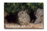 Leporillus conditor-Greater Stick-nest Rat  PGY-465 ©Jiri Lochman- Lochman LT
