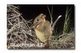 Leporillus conditor-Greater Stick-nest Rat  ZLY-670 ©Jiri Lochman- Lochman LT