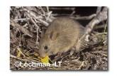 Leporillus conditor-Greater Stick-nest Rat  ZLY-673 ©Jiri Lochman- Lochman LT