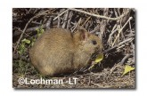 Leporillus conditor-Greater Stick-nest Rat  ZLY-690 ©Jiri Lochman- Lochman LT